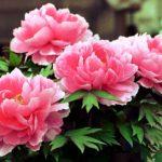 スペインの「国花」と「花言葉」は?